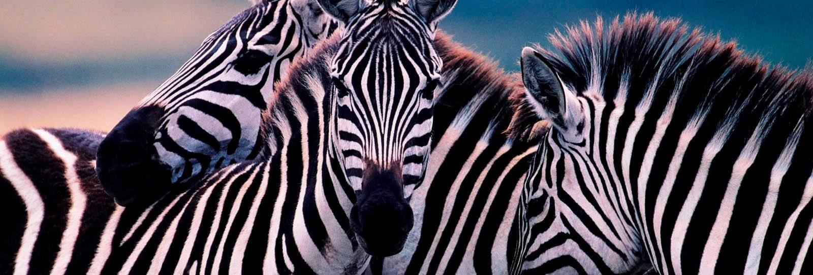 Deco Block »Zebras« 118/40 cm