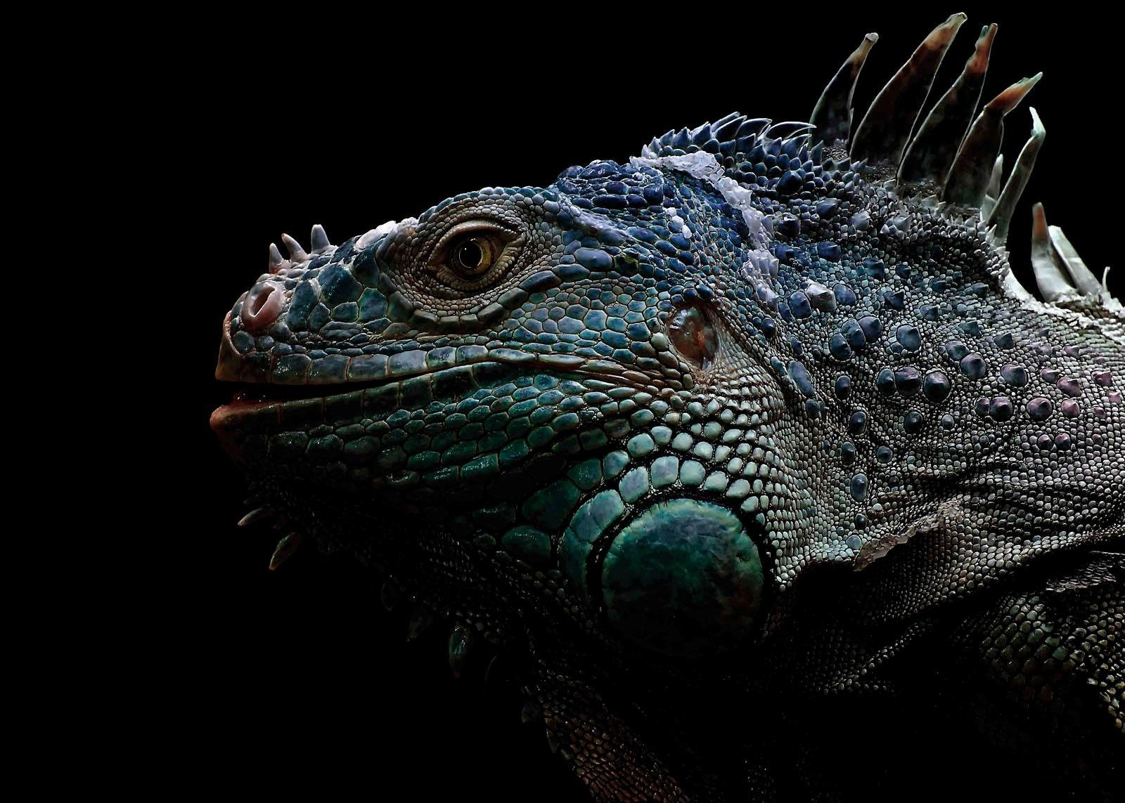 Alu-Dibond-Druck »Iguana«, Tiermotiv, 140/100 cm