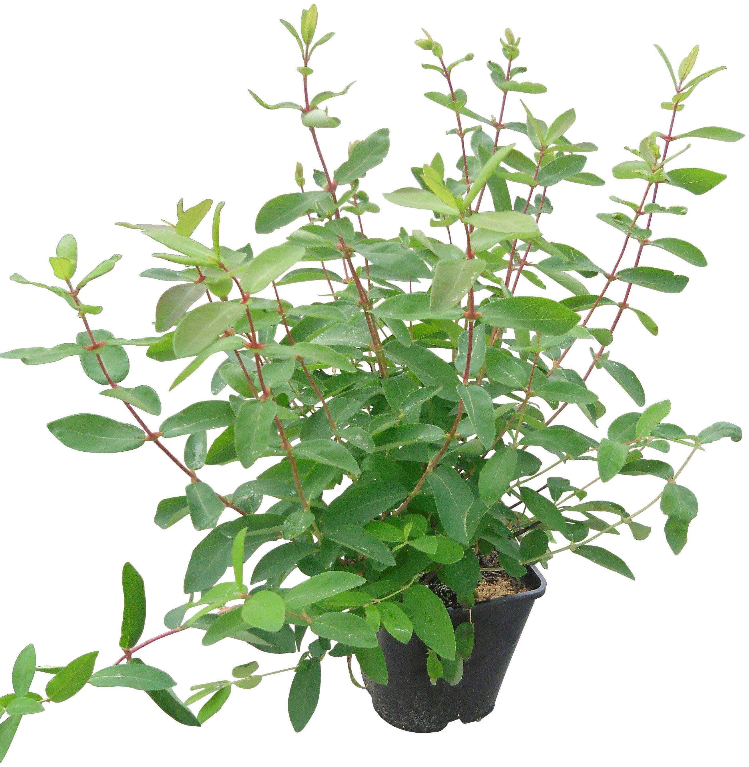 BCM Obst »Lonicera kamtschatica 'Bienenzauber'«, 1 Pflanze