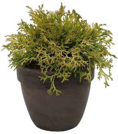 BCM Hecke »Scheinzypresse 'Kamarachiba'«, Höhe: 20 cm , 1 Pflanze
