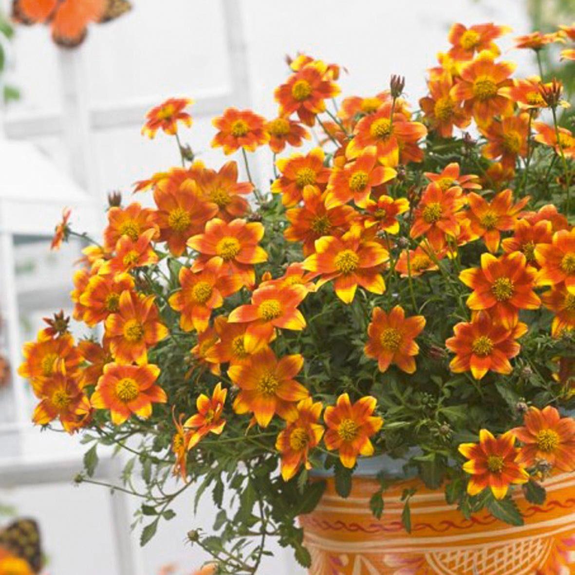 BCM Beet & Balkonpflanze »Bidens BeeDance«, 3 Pflanzen