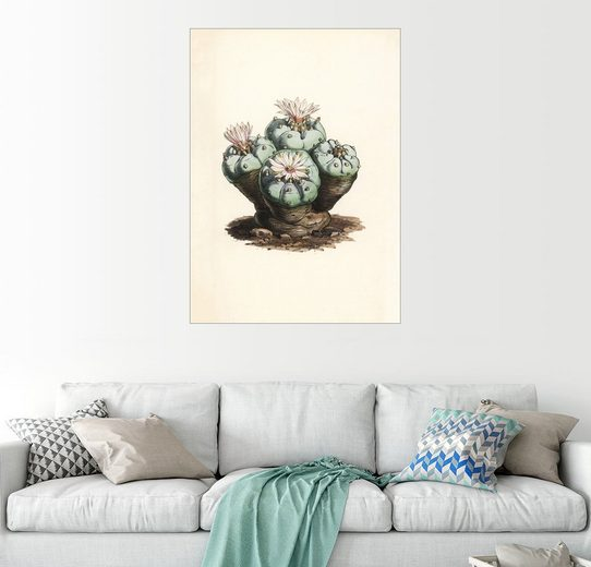 Posterlounge Wandbild - Walter Hood Fitch »Peyote Kaktus, Lophophora williamsii«