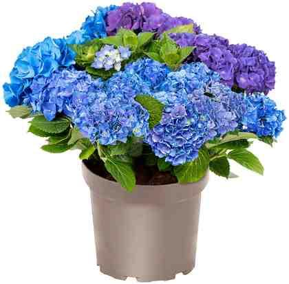 BCM Hortensie »Three Sisters Blue, Violett, White«, Höhe: 30-40 cm, 1 Pflanze