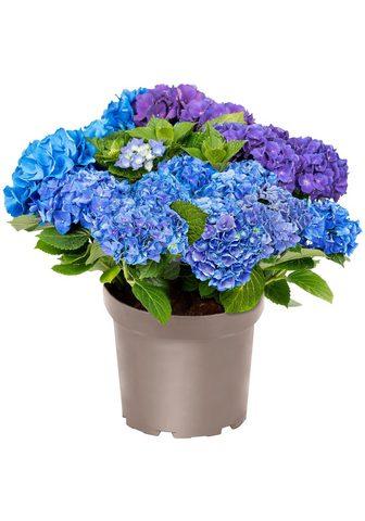 BCM Hortenzija »Three Sisters Blue Violett...