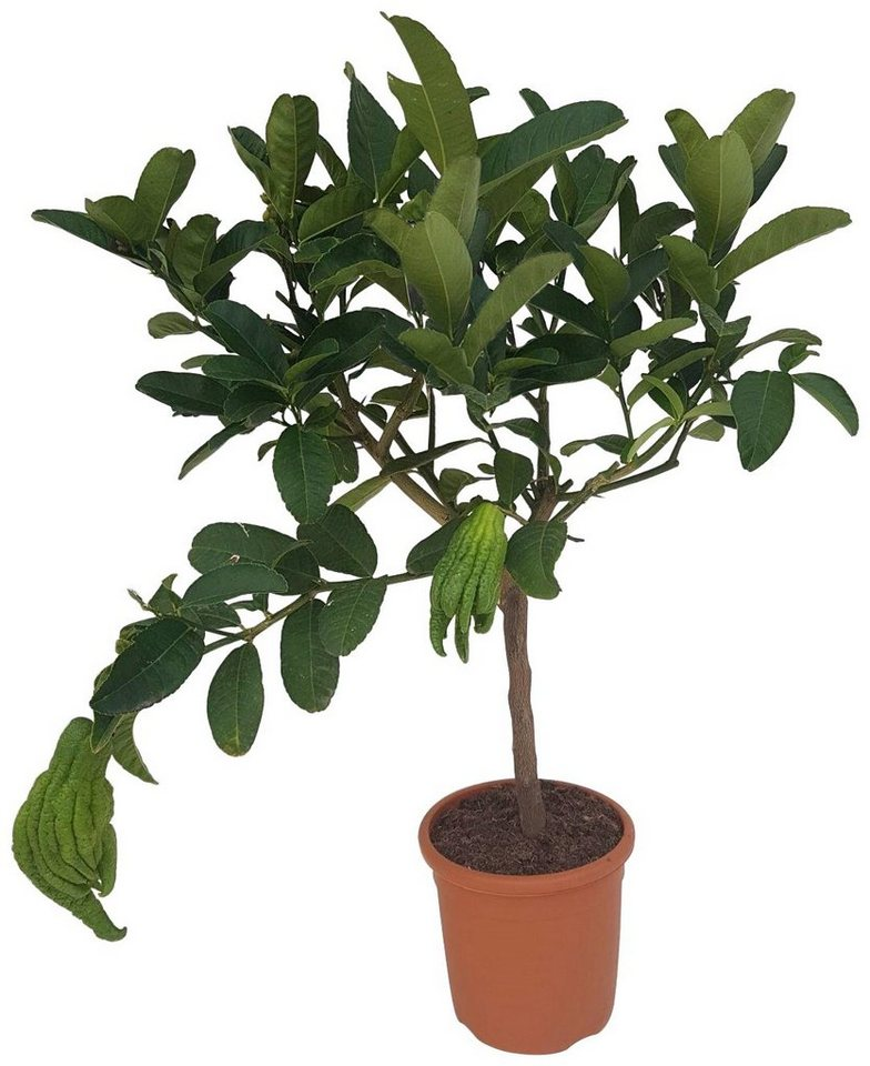 bcm obstbaum buddhas hand h he 70 cm 1 pflanze online kaufen otto. Black Bedroom Furniture Sets. Home Design Ideas