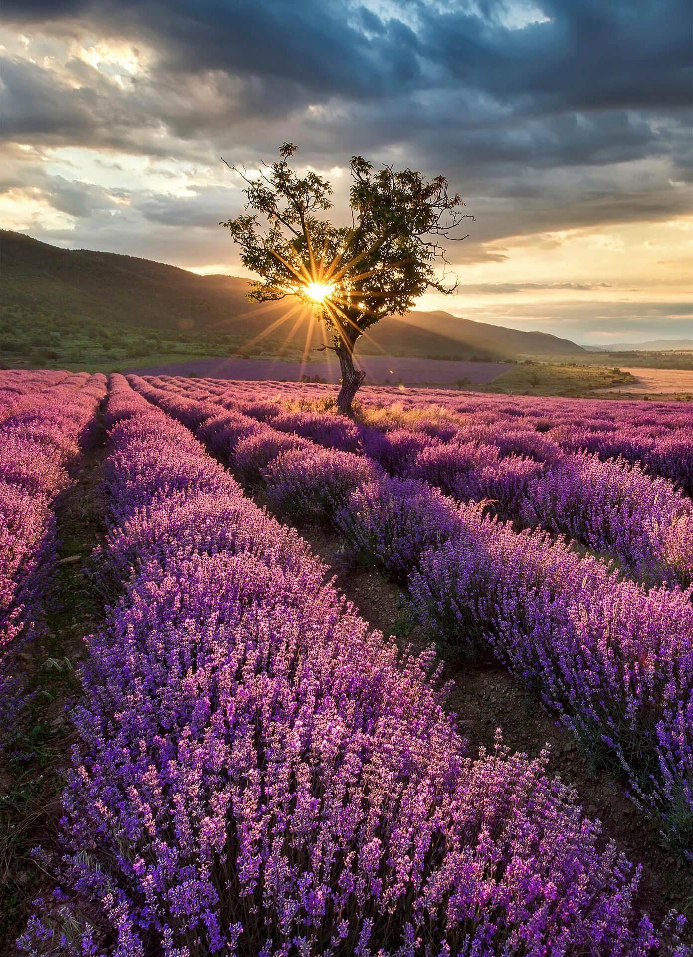 Fototapete »Lavendelblüte in der Provence«, 183/254 cm