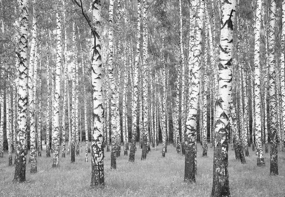 Fototapete birkenwald  Fototapete »Birkenwald«, 366/254 cm online kaufen | OTTO