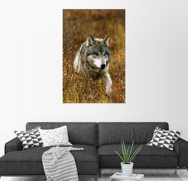 Posterlounge Wandbild - Jim & Jamie Dutcher »Ein männlicher grauer Wolf wandert durch Gräser« | Dekoration > Bilder und Rahmen > Bilder | Bunt | Posterlounge