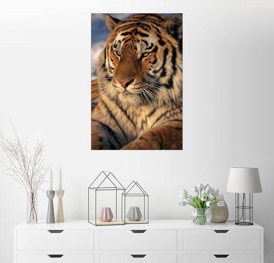 Posterlounge Wandbild - Marc Moritsch »Sibirischer Tiger«