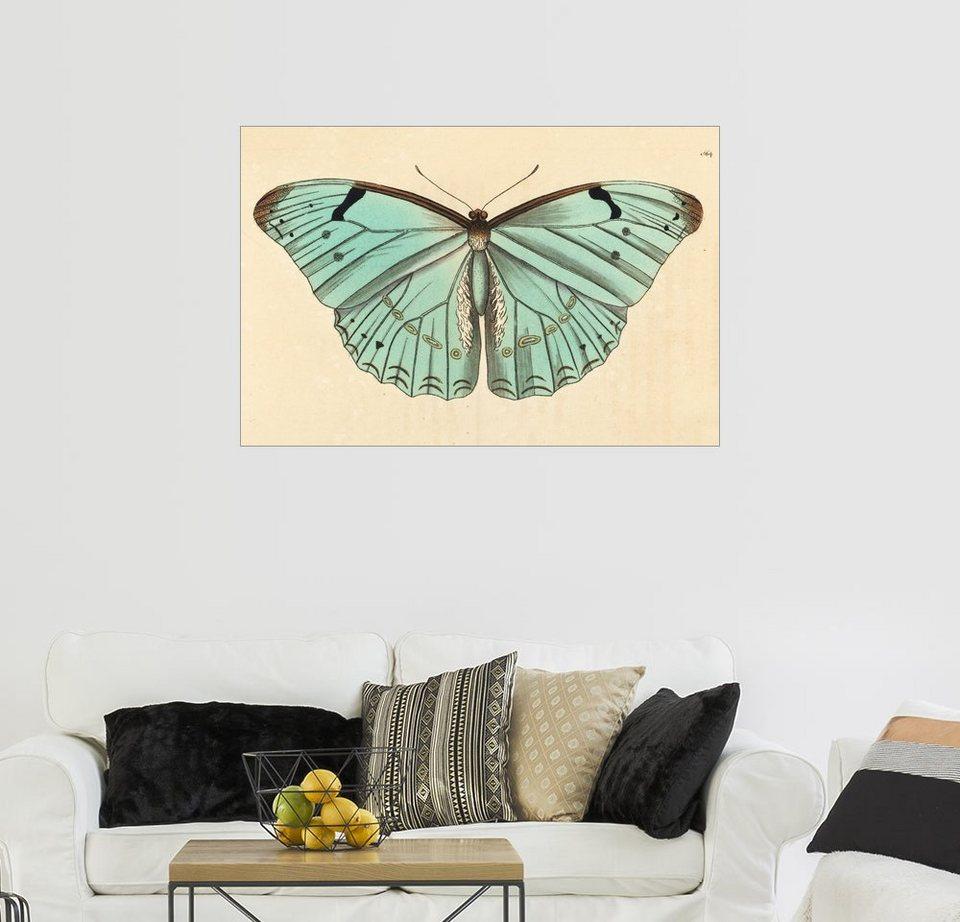Бабочка Morpho laertes - фото, описание, первооткрыватель, размах ...