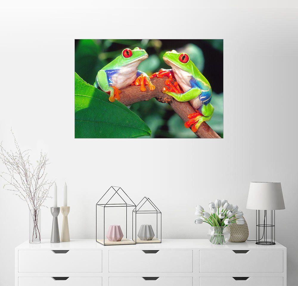 Posterlounge Wandbild - David Northcott »Zwei Rote Augen Laubfrösche«