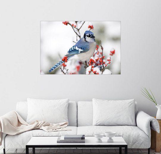 Posterlounge Wandbild - Richard and Susan Day »Blauhäher auf Winterbeerenzweig«