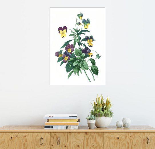 Posterlounge Wandbild - Pierre Joseph Redouté »Veilchen, dreifarbig«