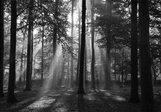 PAPERMOON Fototapete »Forrest morning in black & white«, BlueBack, 7 Bahnen, 350 x 260 cm