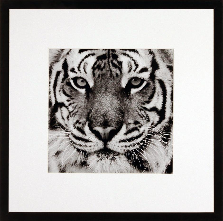 G&C gerahmtes Bild TIGER 50/50 cm online kaufen | OTTO