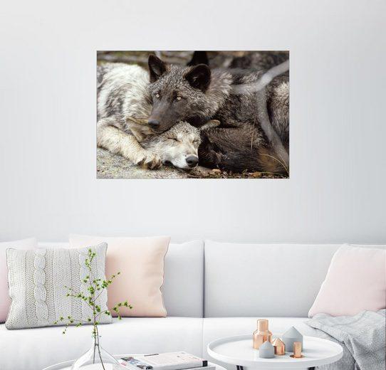 Posterlounge Wandbild - Jim & Jamie Dutcher »Zwei graue Wölfe ruhen aneinander gekuschelt«