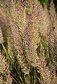 BCM Gräser »Reitgras brachytricha«, Lieferhöhe: ca. 40 cm, 3 Pflanzen, Bild 2