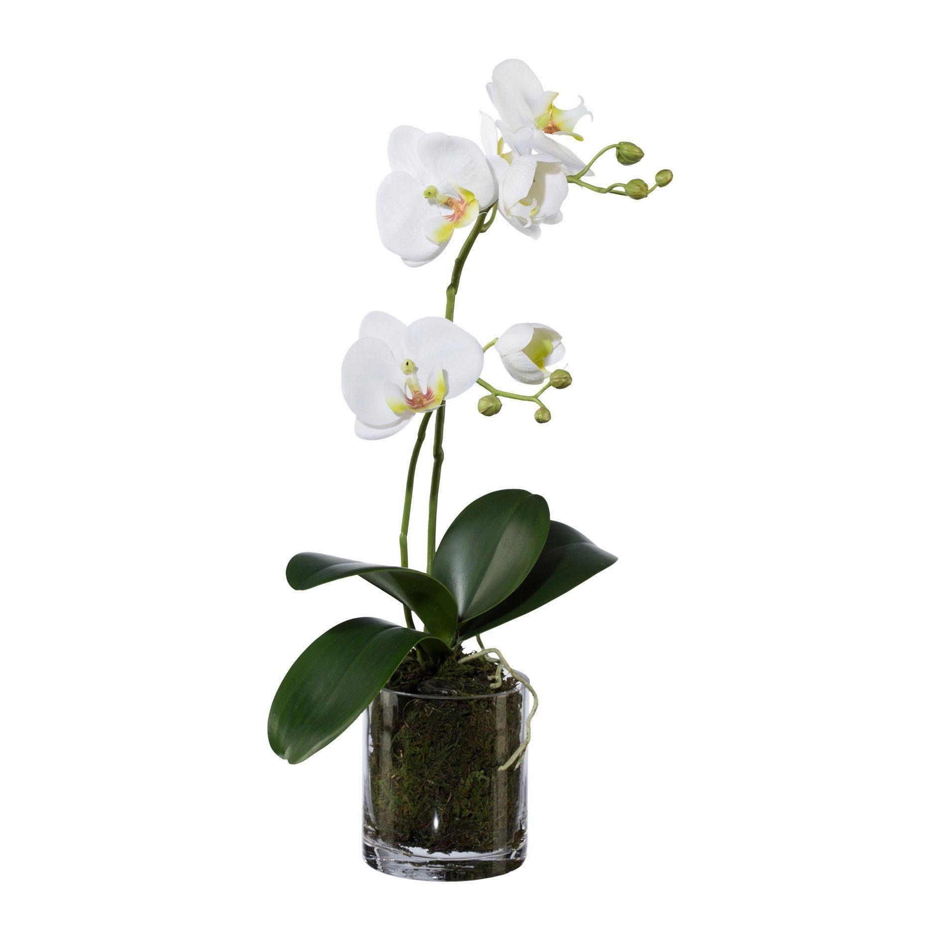 Phalaenopsis im Glastopf