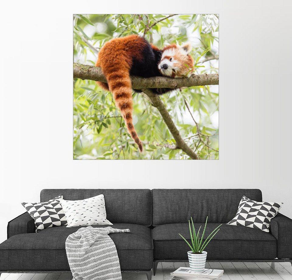 posterlounge wandbild roter panda ruht in einem baum online kaufen otto. Black Bedroom Furniture Sets. Home Design Ideas