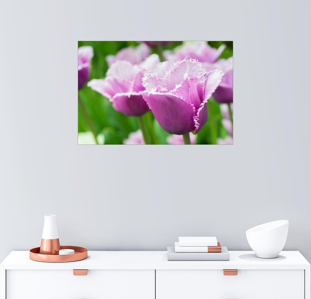 Posterlounge Wandbild »Frische lila Tulpen«