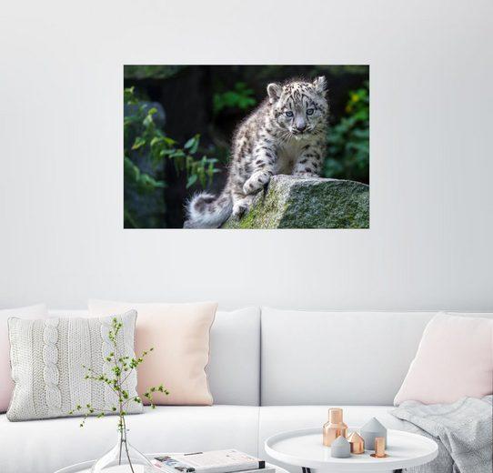 Posterlounge Wandbild - WildlifePhotography »Schneeleopard«