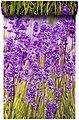 BODENMEISTER Fototapete »Lavendel Provence lila«, Rolle 2,80x1,59m, Bild 3