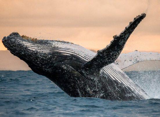 Fototapete »Humpback Whale«, glatt