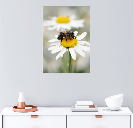 Posterlounge Wandbild - Falko Follert »Biene auf der Kamillen Wiese«