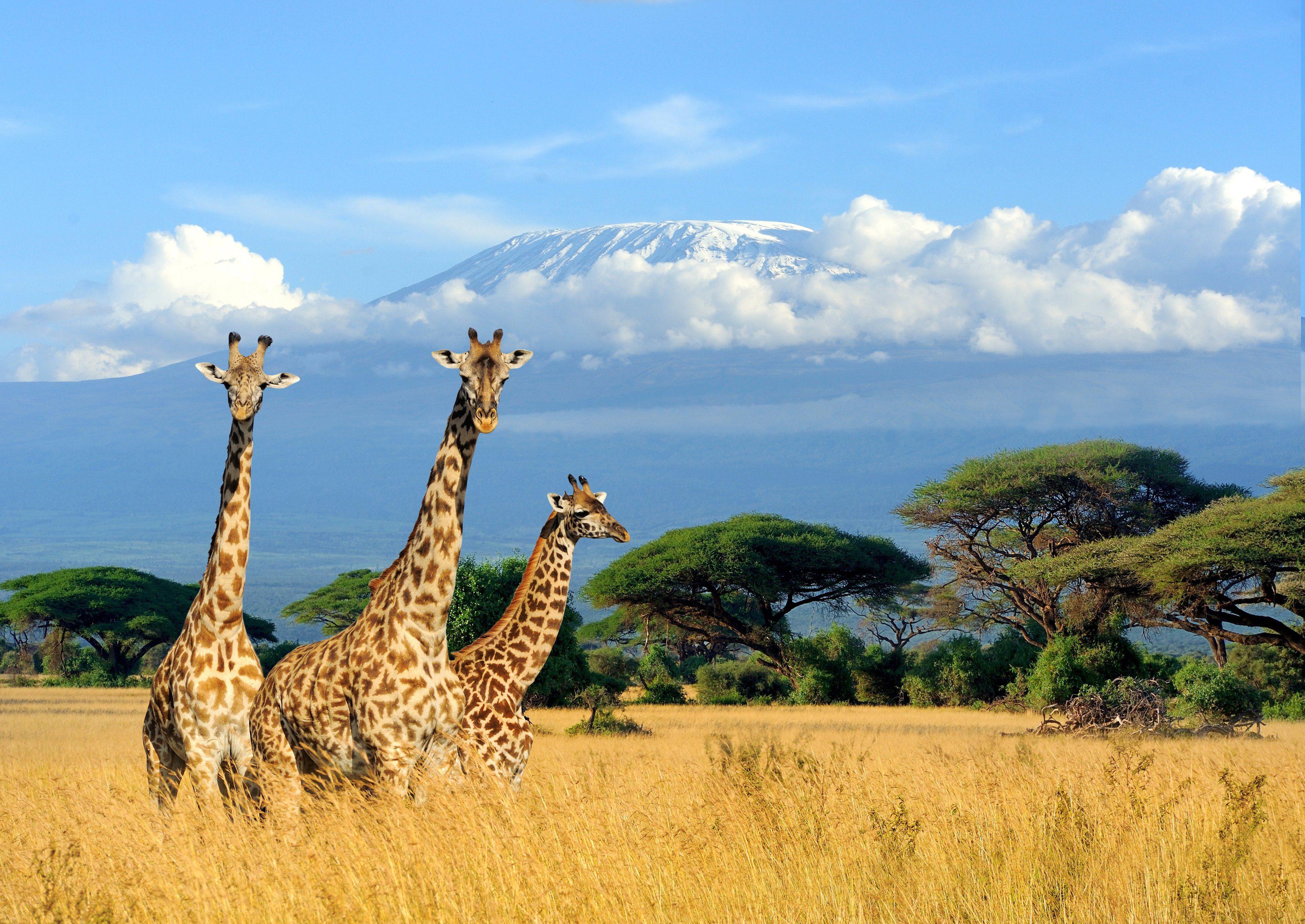 PAPERMOON Fototapete »Giraffes at Kilimanjaro«, BlueBack, 7 Bahnen, 350 x 260 cm
