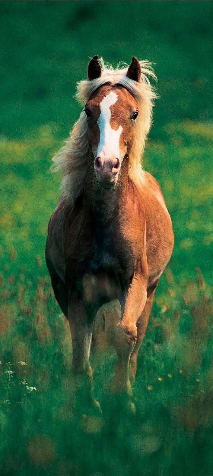 PAPERMOON Fototapete »Haflinger Horse - Türtapete«, BlueBack, 2 Bahnen, 90 x 200 cm