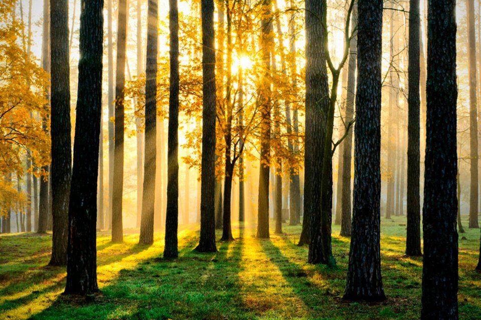 PAPERMOON Fototapete »Sunny Forest«, Vlies, 7 Bahnen, 350 x 260 cm
