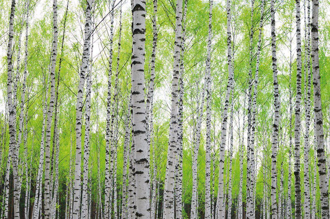 PAPERMOON Fototapete »Birch Forest«, Vlies, 5 Bahnen, 250 x 180 cm