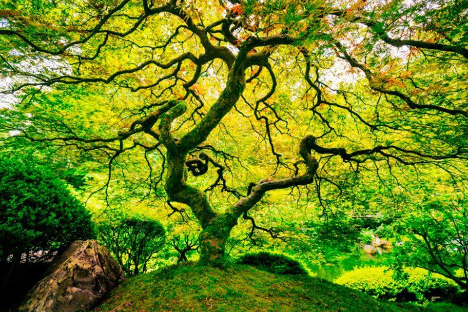 PAPERMOON Fototapete »Japanese Maple Tree«, Vlies, 7 Bahnen, 350 x 260 cm
