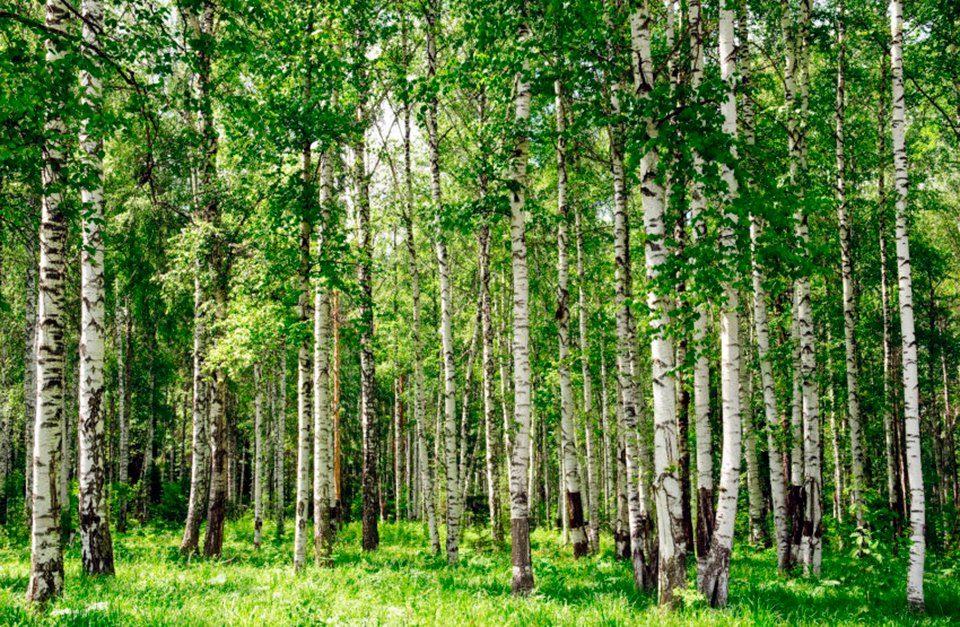 PAPERMOON Fototapete »Birch Forest«, Vlies, 7 Bahnen, 350 x 260 cm