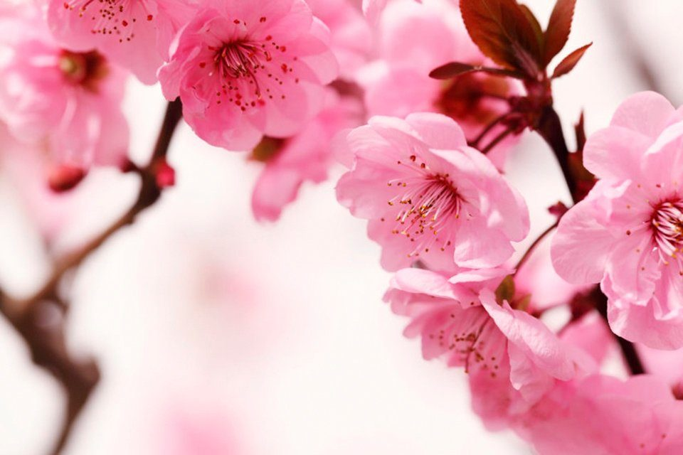 PAPERMOON Fototapete »Peach Blossom«, Vlies, 7 Bahnen, 350 x 260 cm