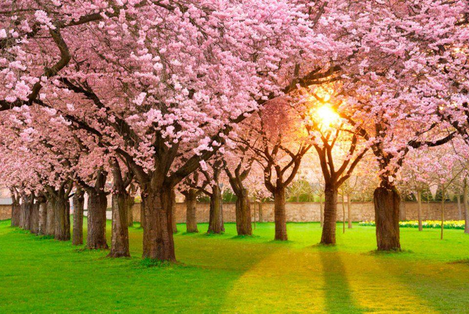 PAPERMOON Fototapete »Cherry Tree Garden«, Vlies, 7 Bahnen, 350 x 260 cm