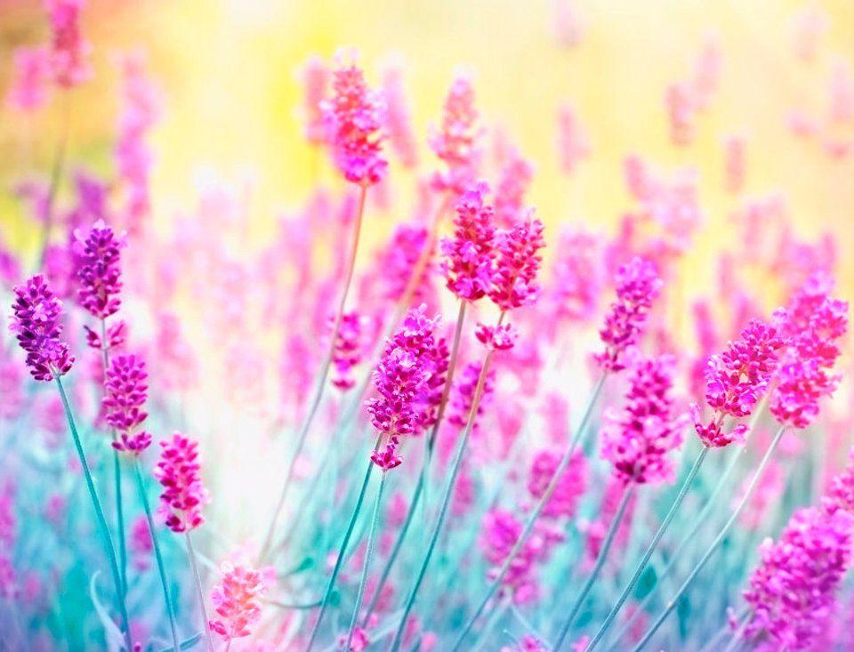 PAPERMOON Fototapete »Lavender Flower«, Vlies, 7 Bahnen, 350 x 260 cm