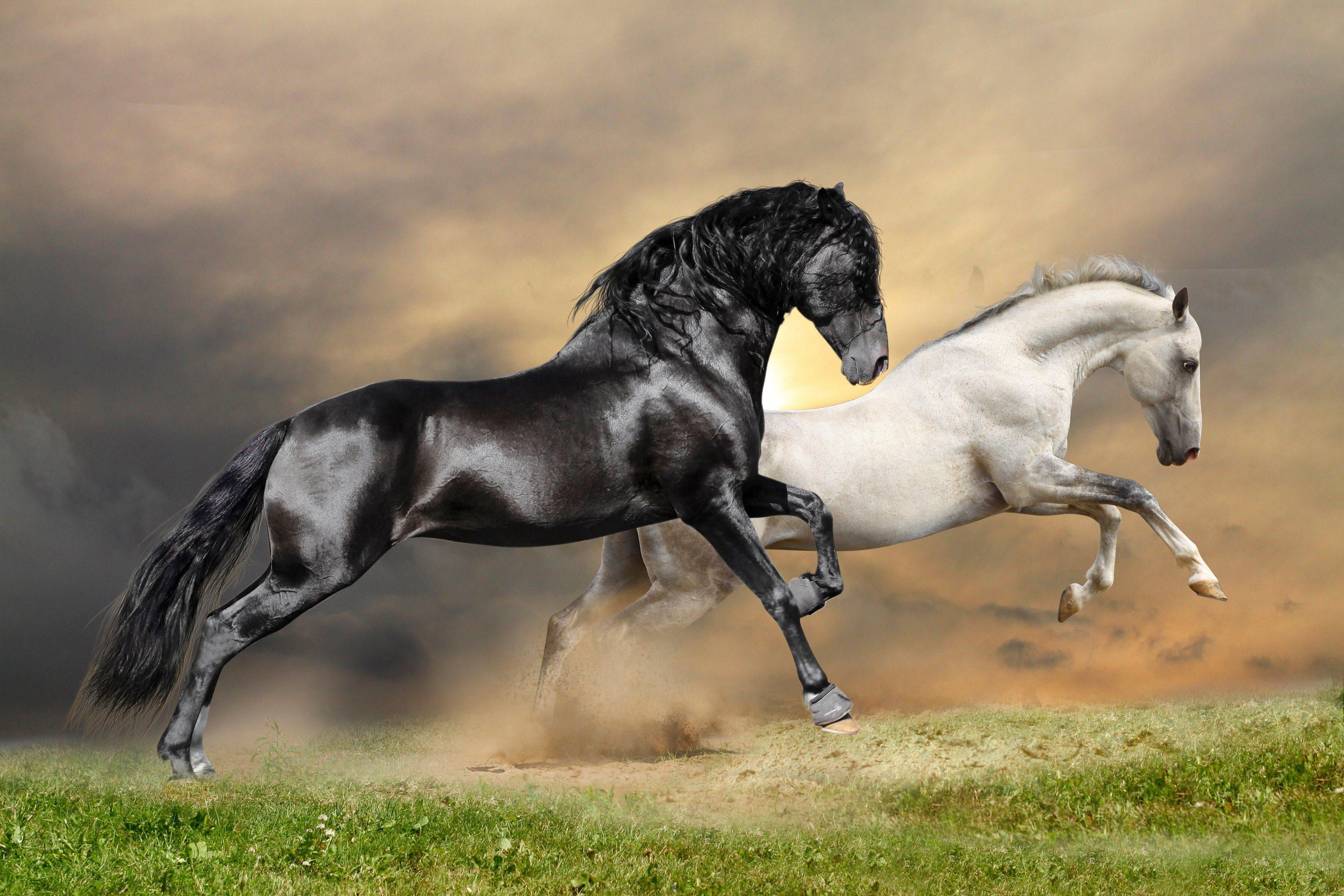 PAPERMOON Fototapete »Black and White Horses«, Vlies, 7 Bahnen, 350 x 260 cm