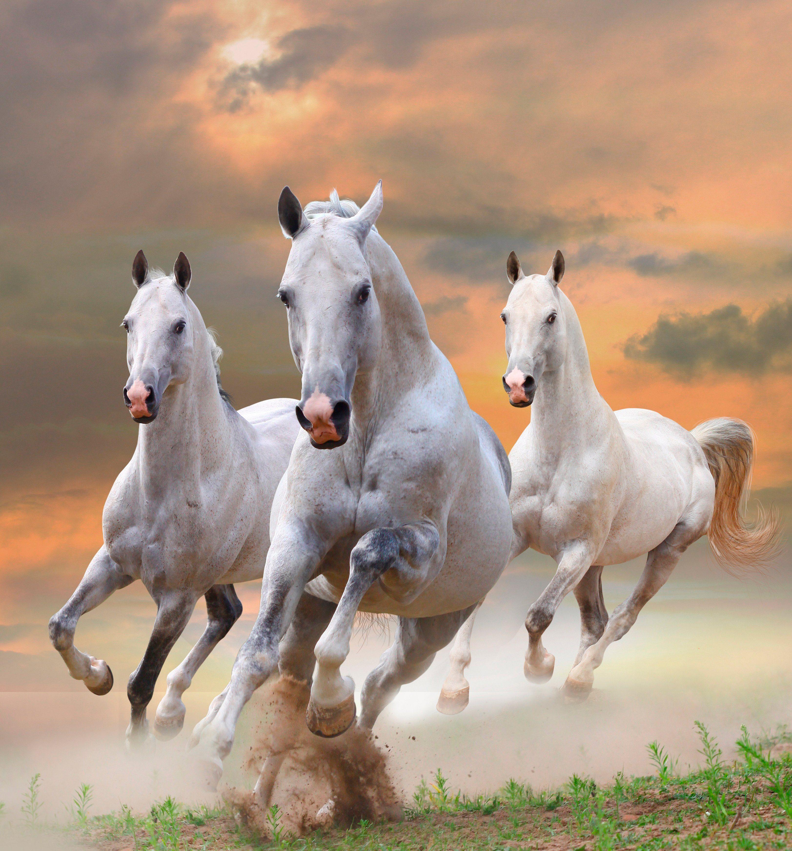 PAPERMOON Fototapete »White Stallions in Dust«, Vlies, 7 Bahnen, 350 x 260 cm
