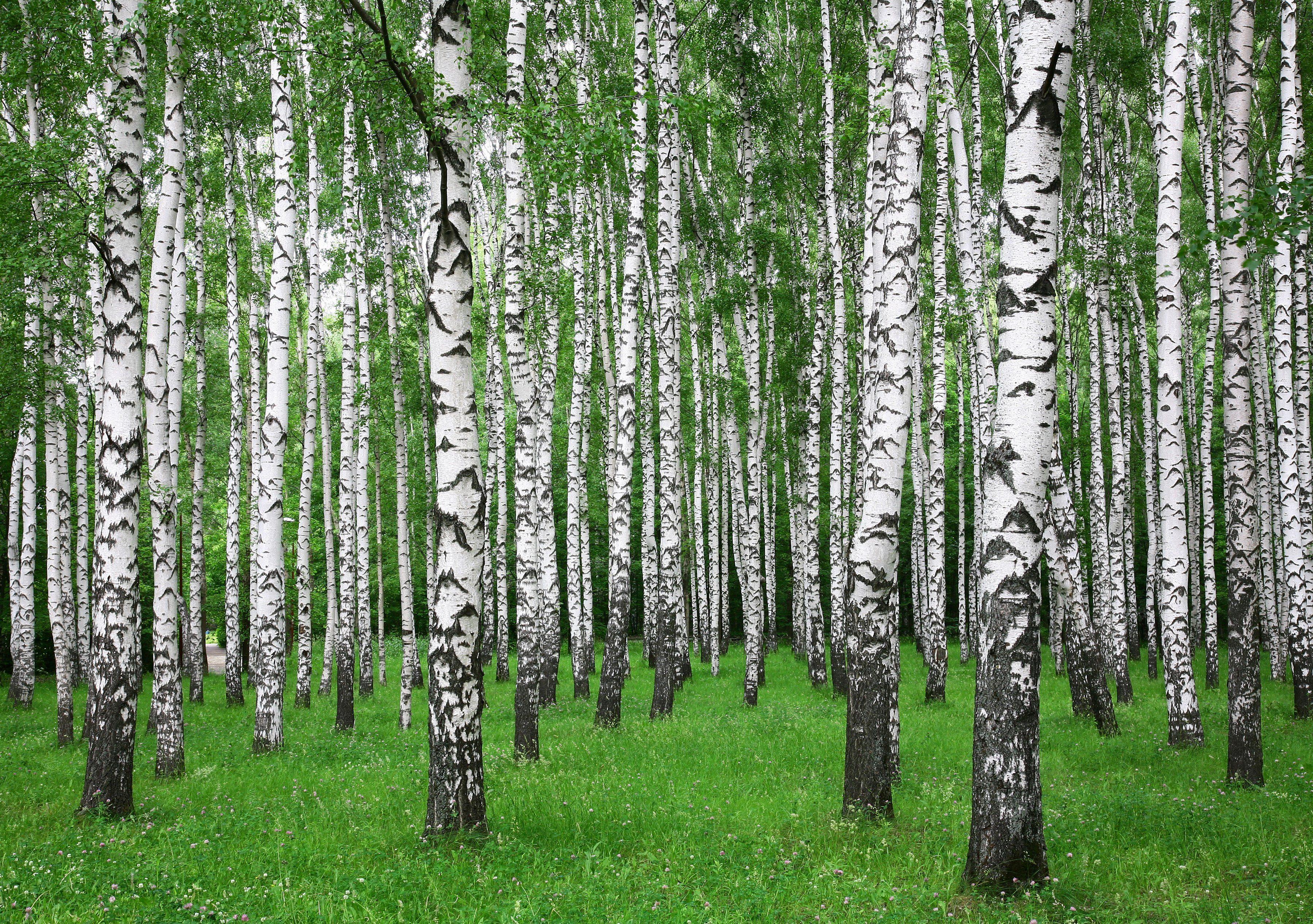 PAPERMOON Fototapete »Summer Birch Forest«, Vlies, 7 Bahnen, 350 x 260 cm