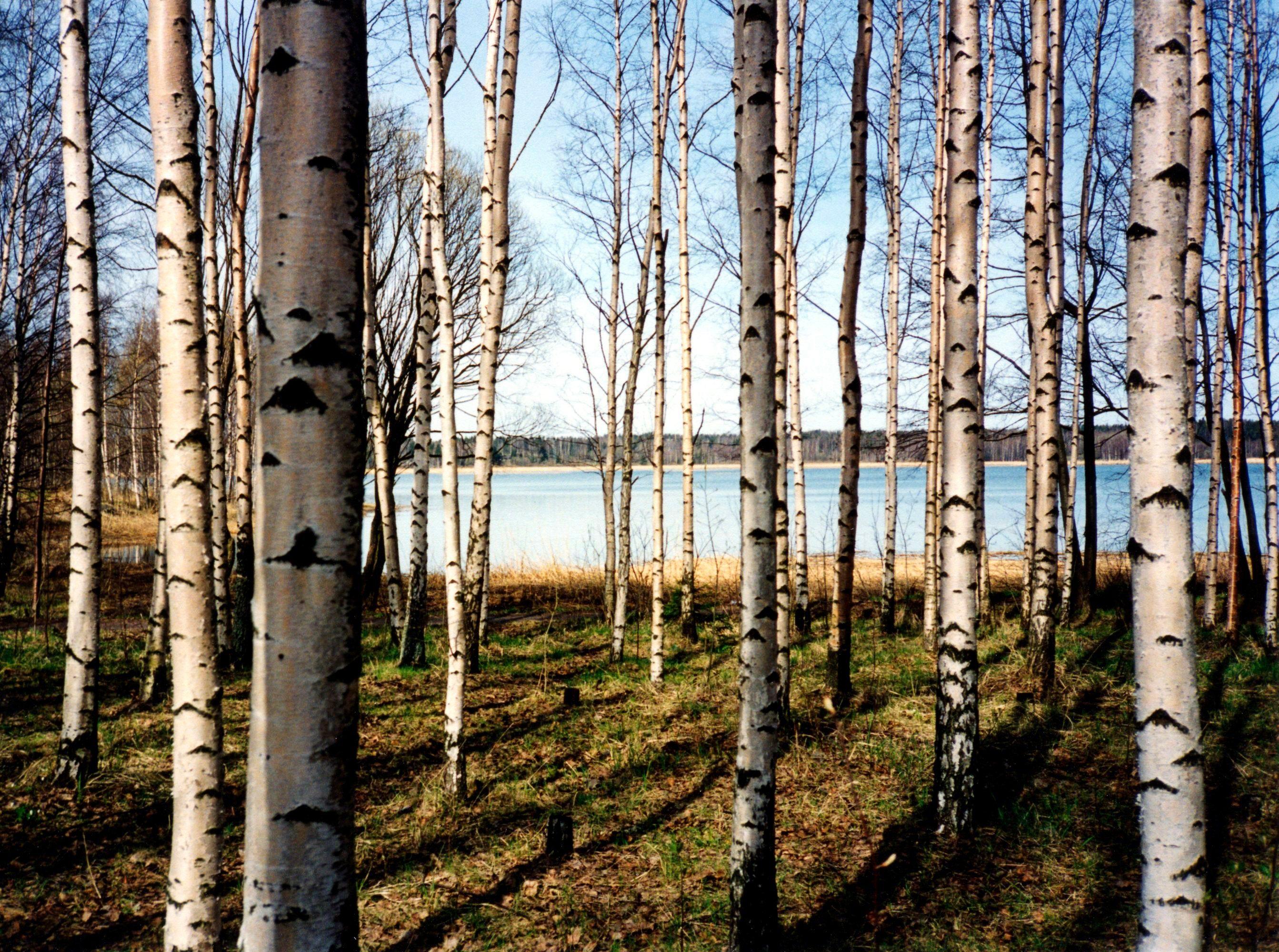 PAPERMOON Fototapete »Finnish Forest of Birch Trees«, BlueBack, 7 Bahnen, 350 x 260 cm