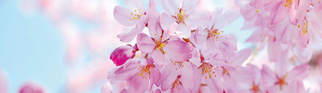PAPERMOON Fototapete »Cherry Blossom Panorama«, Vlies, 2 Bahnen, 350 x 100 cm