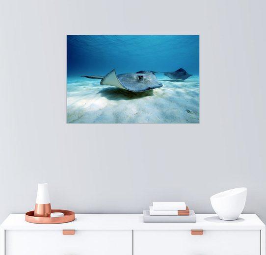 Posterlounge Wandbild - Raul Touzon »Zwei Stachelrochen am Meeresboden«