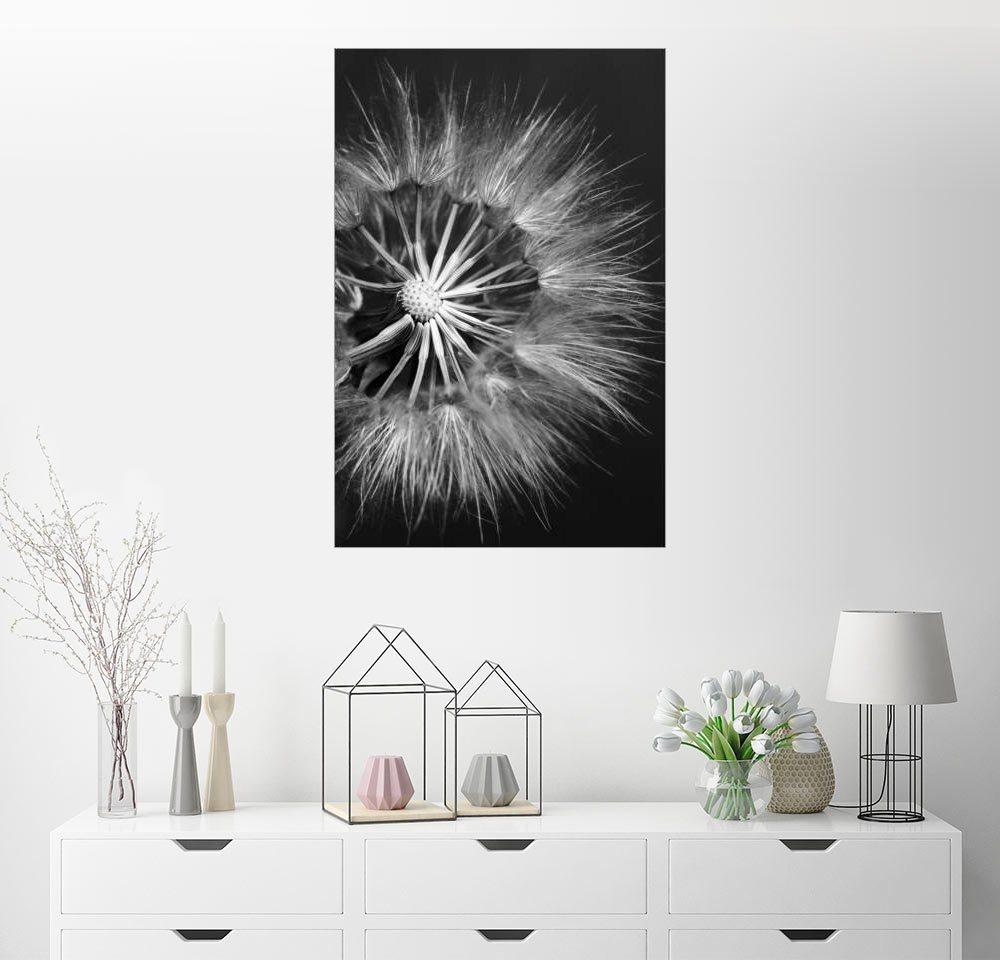Posterlounge Wandbild »Löwenzahn auf schwarzem Hintergrund«   Dekoration > Bilder und Rahmen > Bilder   Holz   Posterlounge