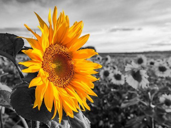 Home affaire Leinwandbild »Sonnenblume«, 80/60 cm