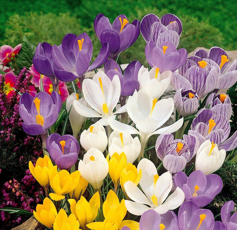 Blumenzwiebel »Krokusse«, 120 Stück, Farbmischung