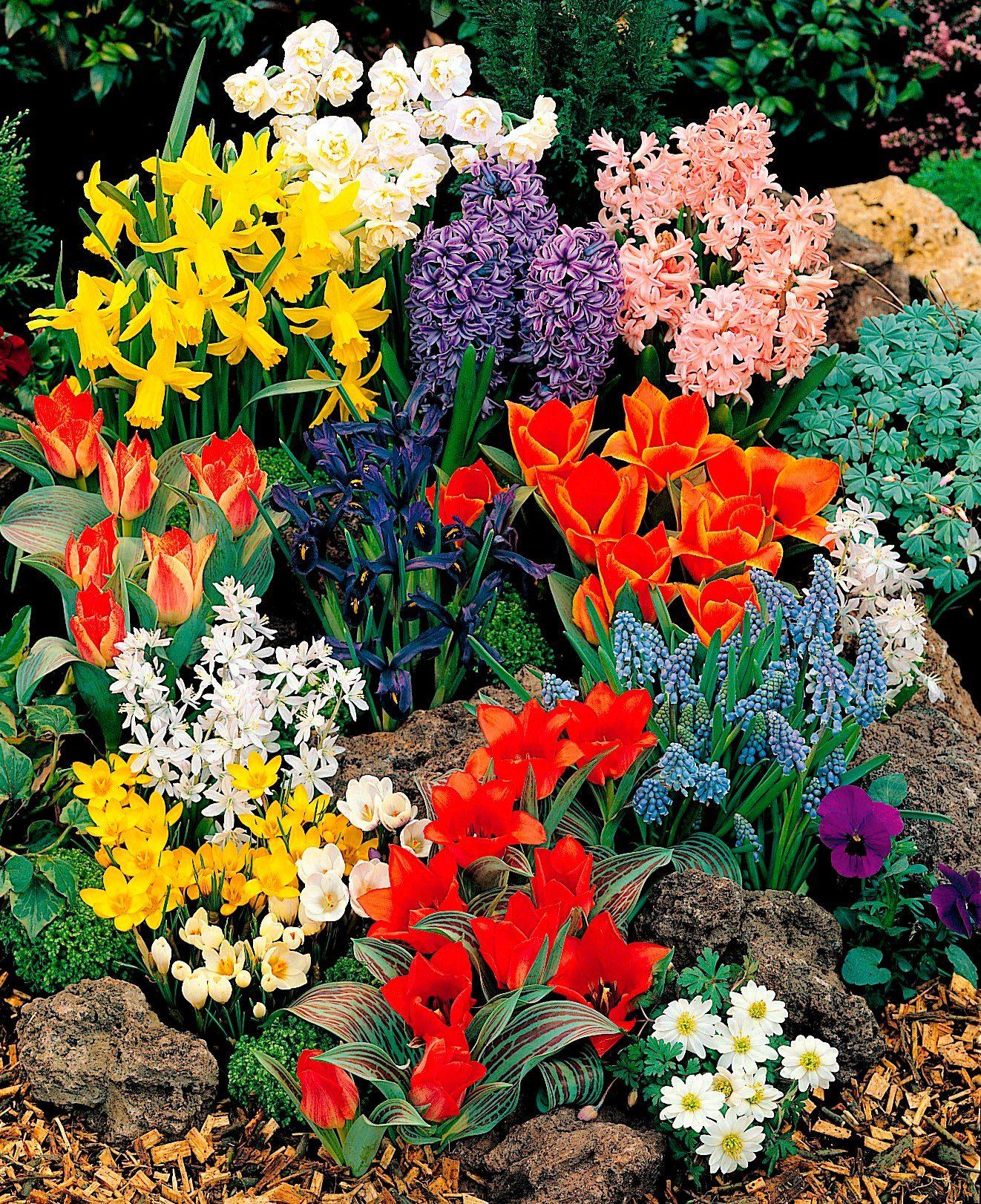 Blumenzwiebel , 40 Stück, Frühjahrsblüher-Sortiment