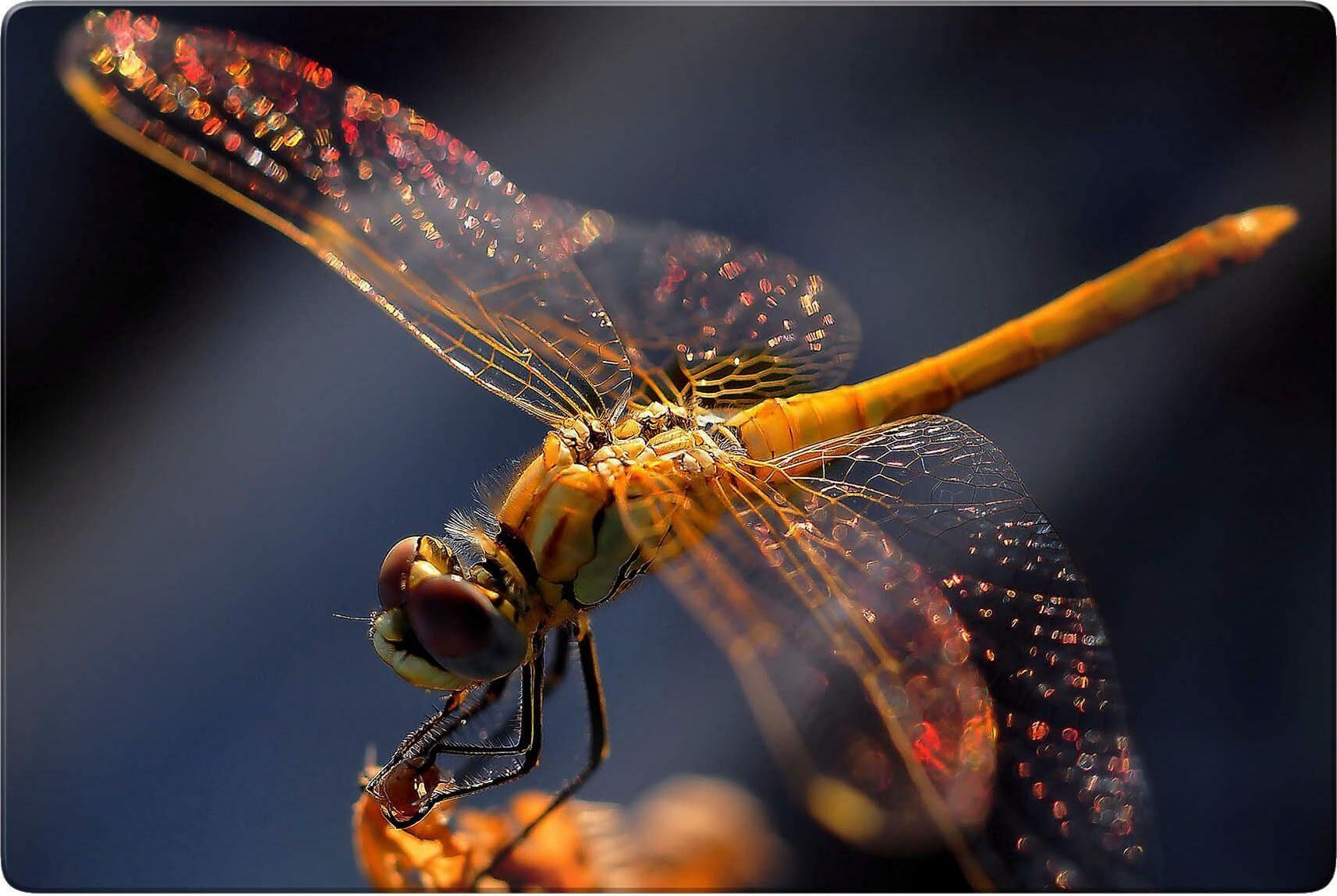 Glasbild »Dufour - Libelle auf Tuchfühlung« 100/0,4/70 cm