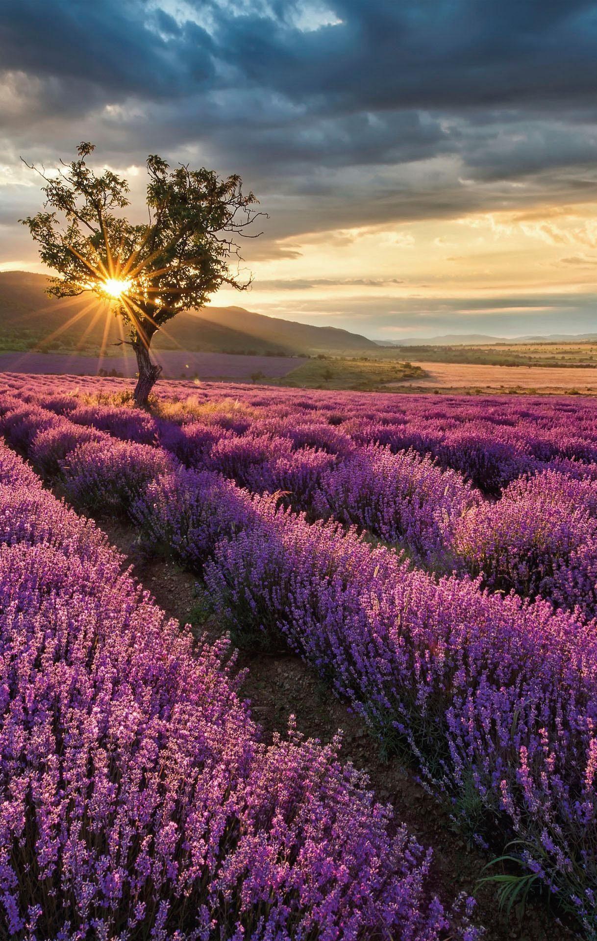 Fototapete »Lavendelblüte in der Provence« 192/260 cm