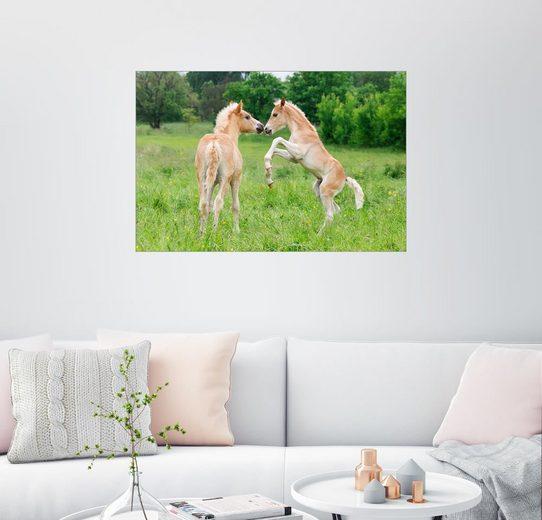 Posterlounge Wandbild - Katho Menden »Haflinger Fohlen spielen und steigen«